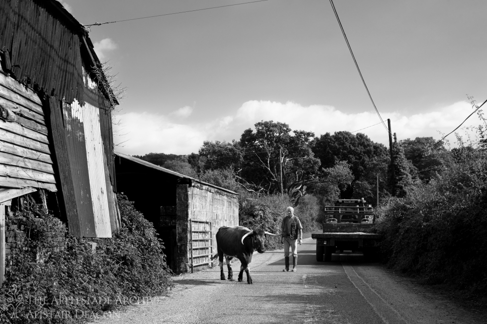 Richard Deacon moving a Longhorn, Toms Farm, Linwood, New Forest, Hampshire September 2014